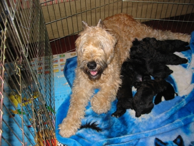 Miss Tawny Pups